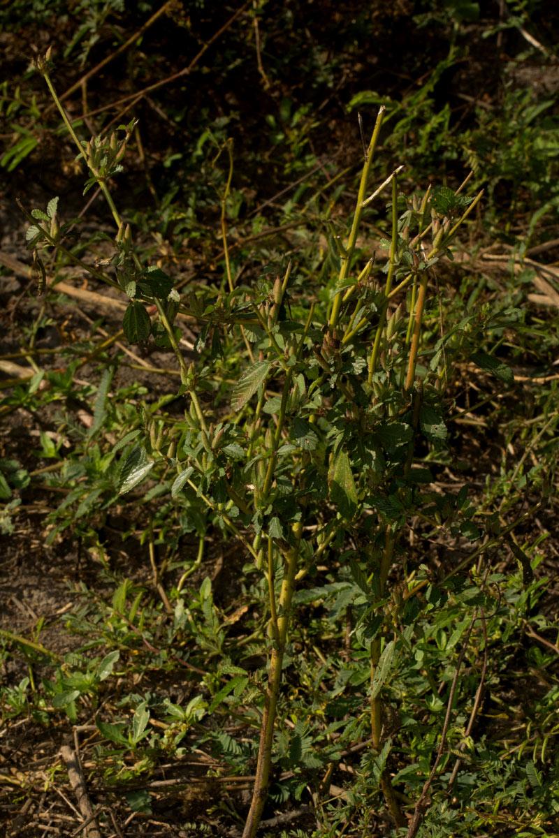 Corchorus fascicularis