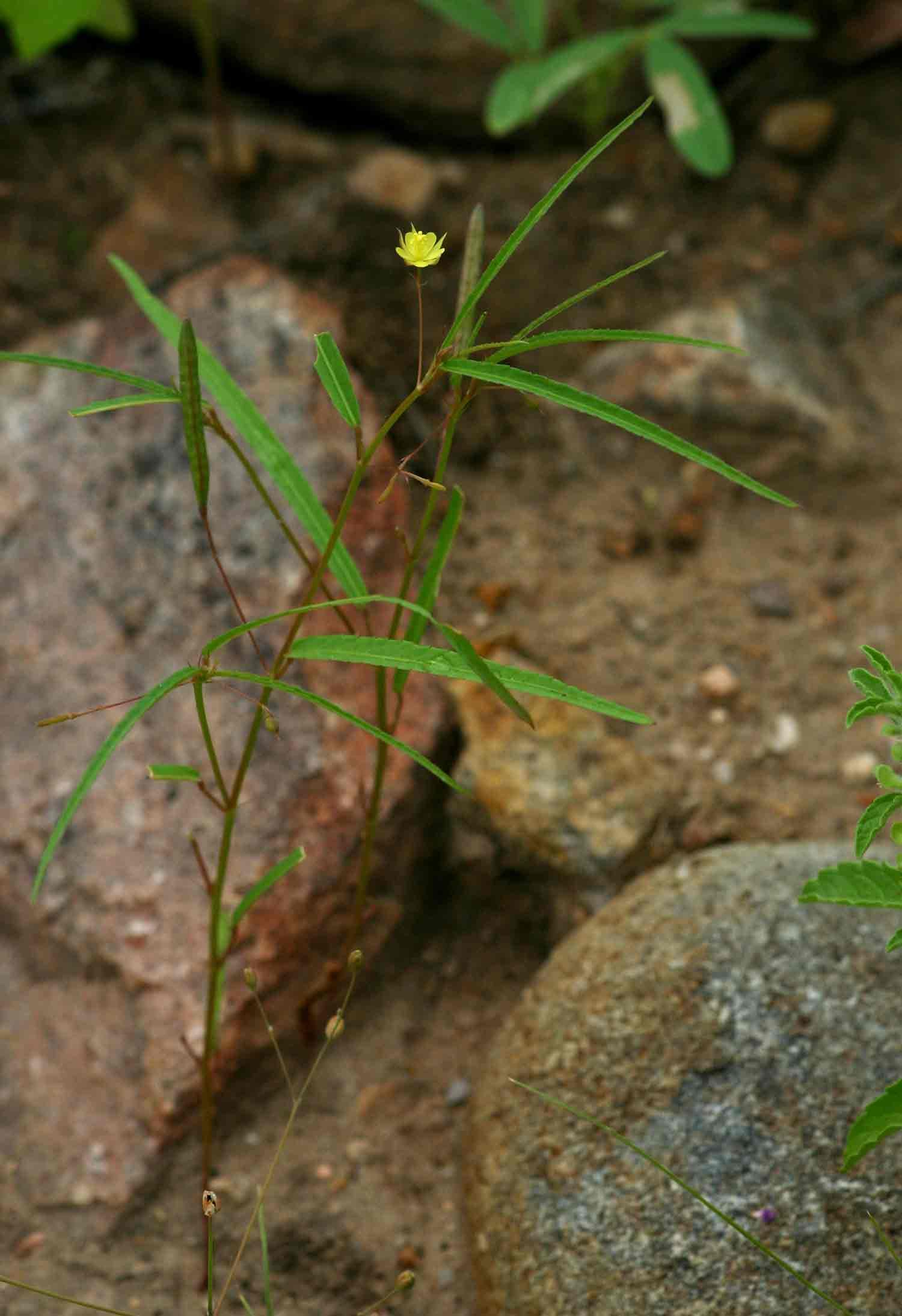 Corchorus longipedunculatus