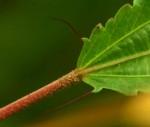 Corchorus tridens