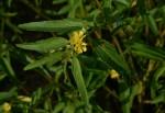 Corchorus trilocularis