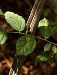 Grewia flavescens var. flavescens