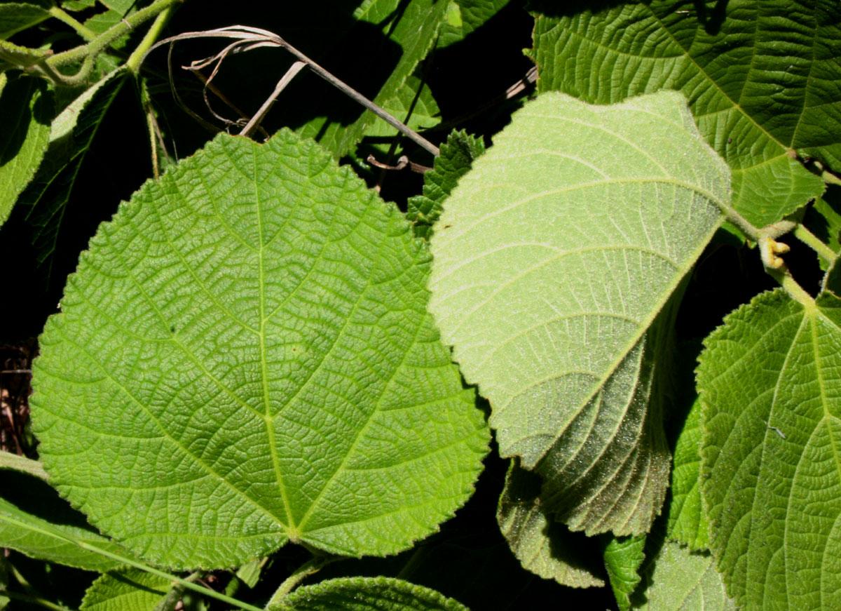 Grewia herbacea