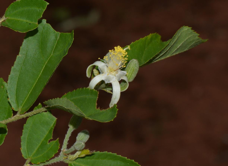 Grewia lepidopetala