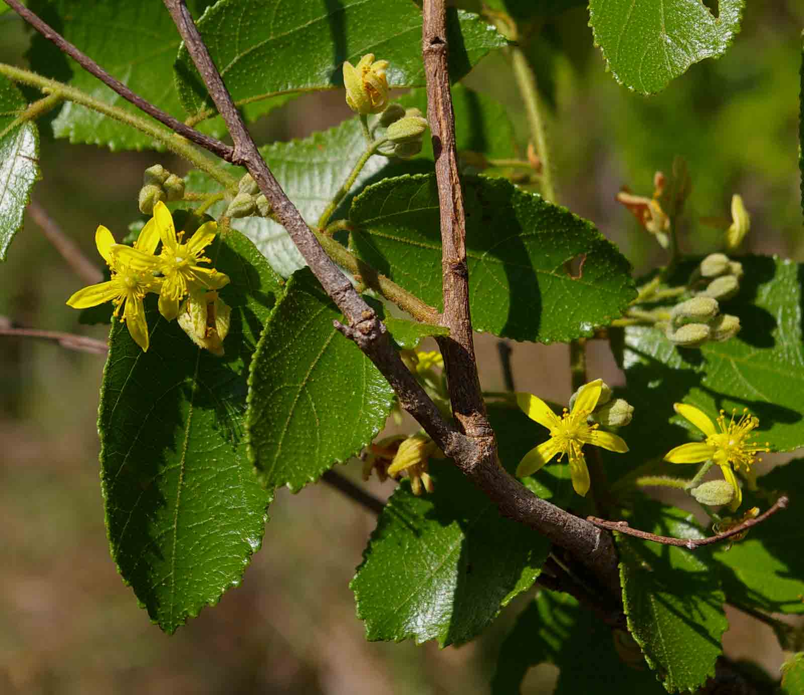 Grewia micrantha