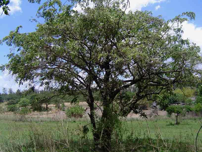 Grewia monticola