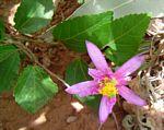 Grewia occidentalis var. occidentalis