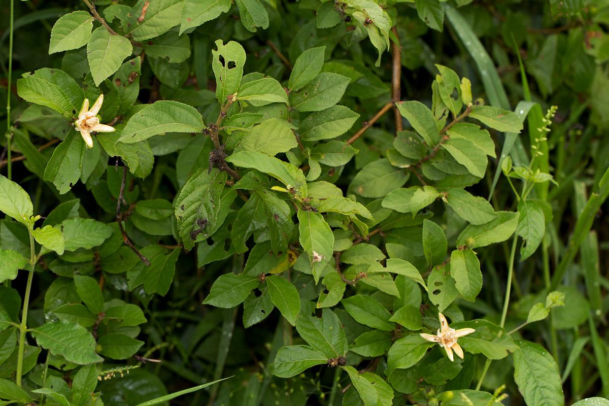 Grewia pachycalyx