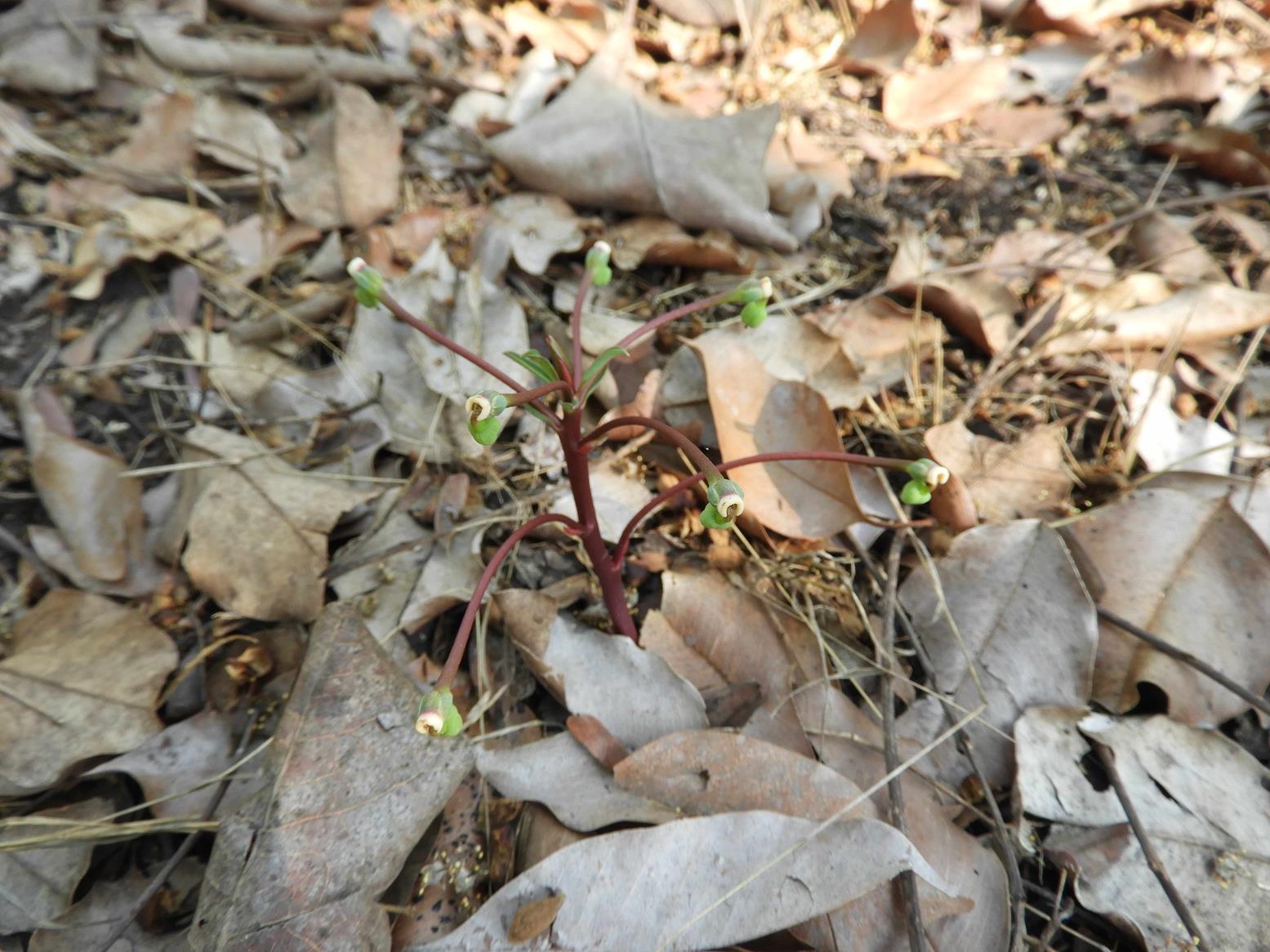 Monadenium pedunculatum