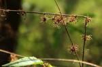 Triumfetta pilosa var. glabrescens