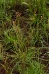 Triumfetta welwitschii