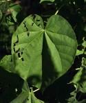 Abutilon angulatum var. angulatum