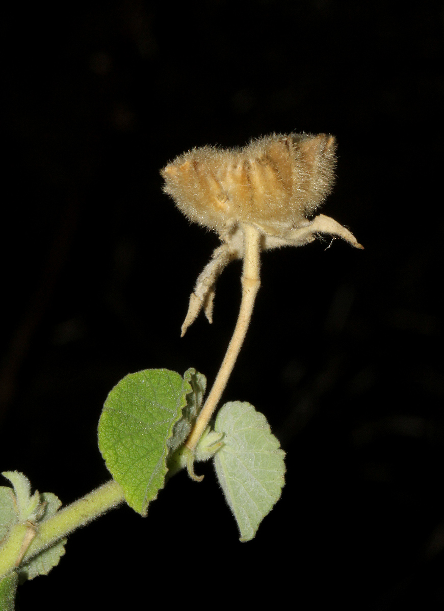 Abutilon indicum subsp. guineense
