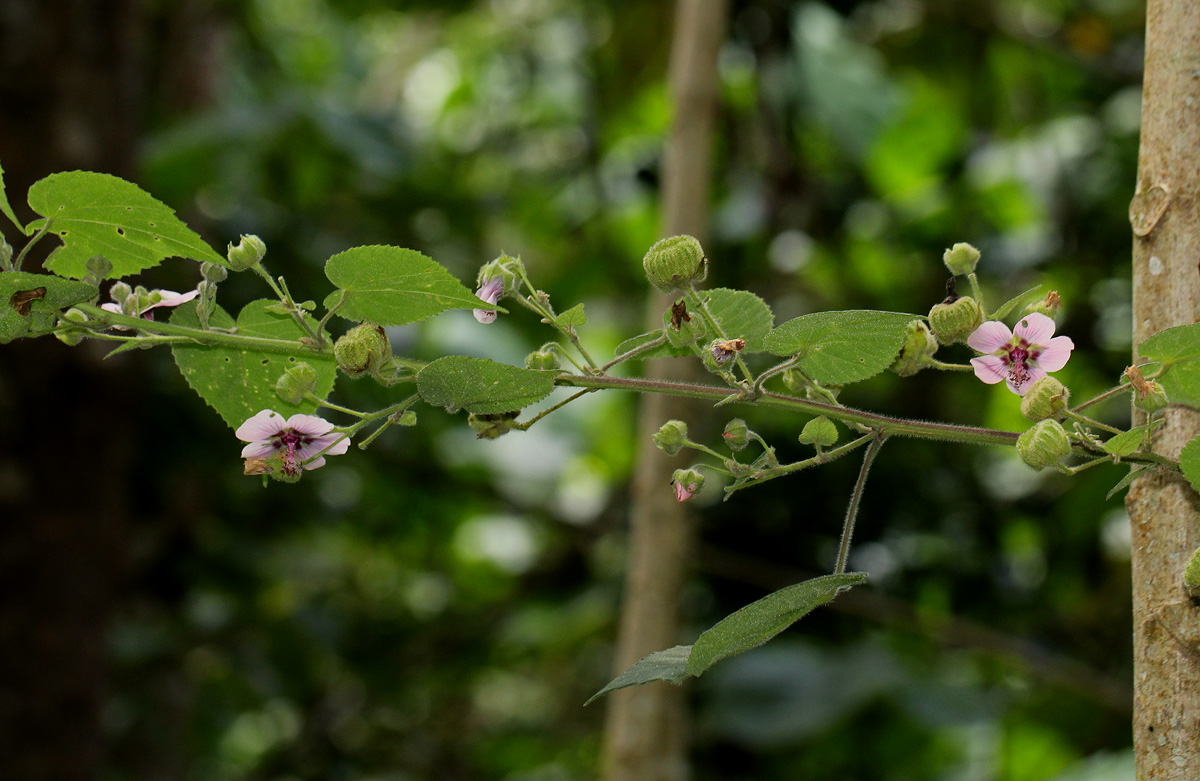 Abutilon longicuspe