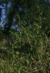 Abutilon mauritianum
