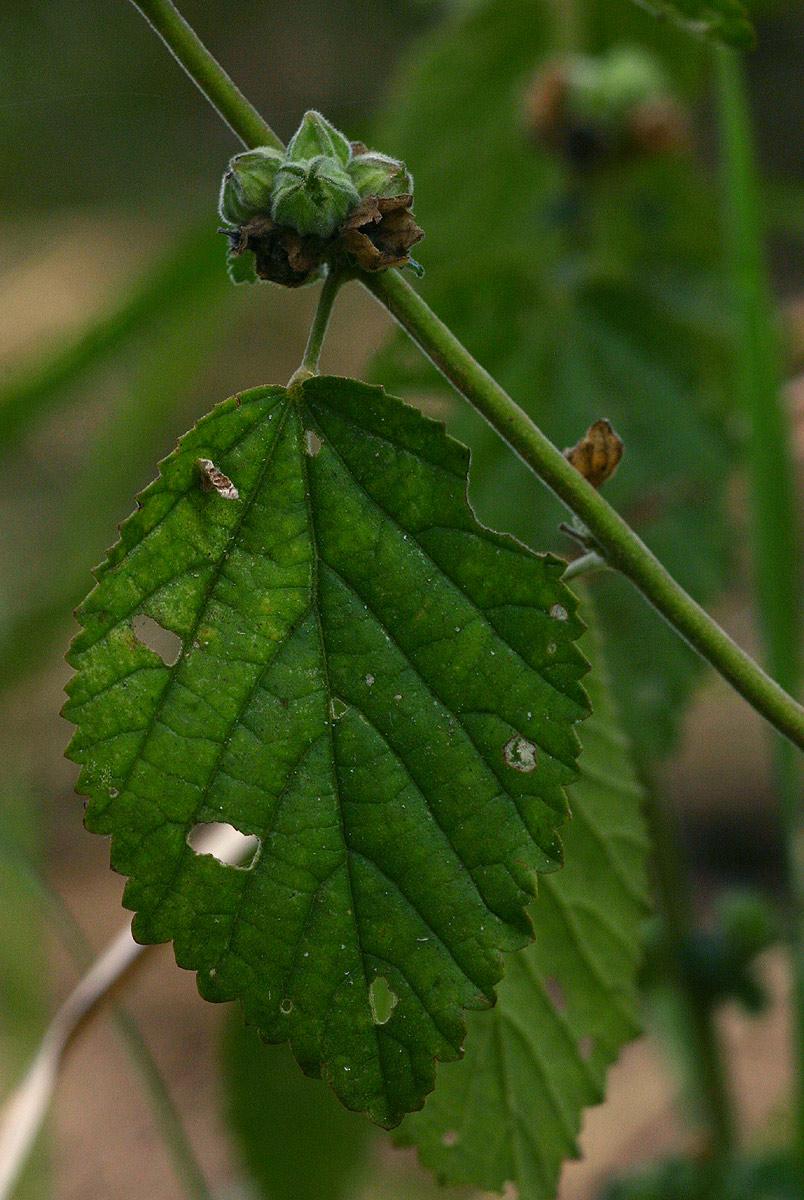 Sida cordifolia subsp. maculata