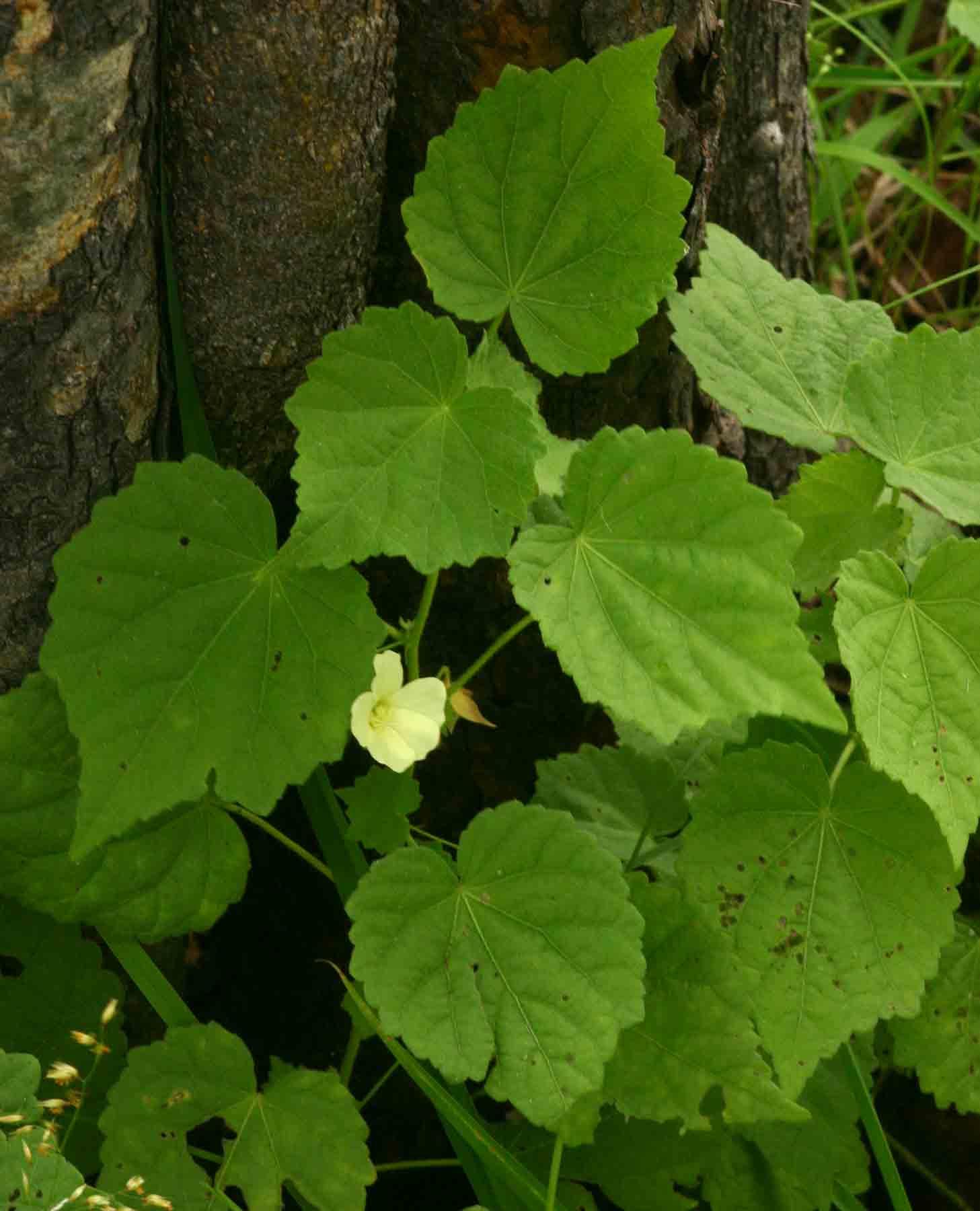 Pavonia procumbens