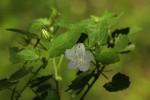 Pavonia leptocalyx