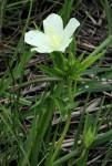 Hibiscus articulatus