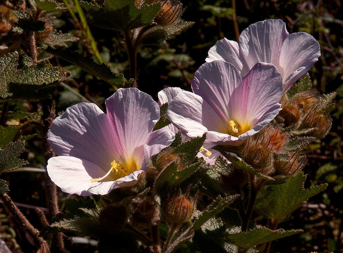 Hibiscus burtt-davyi