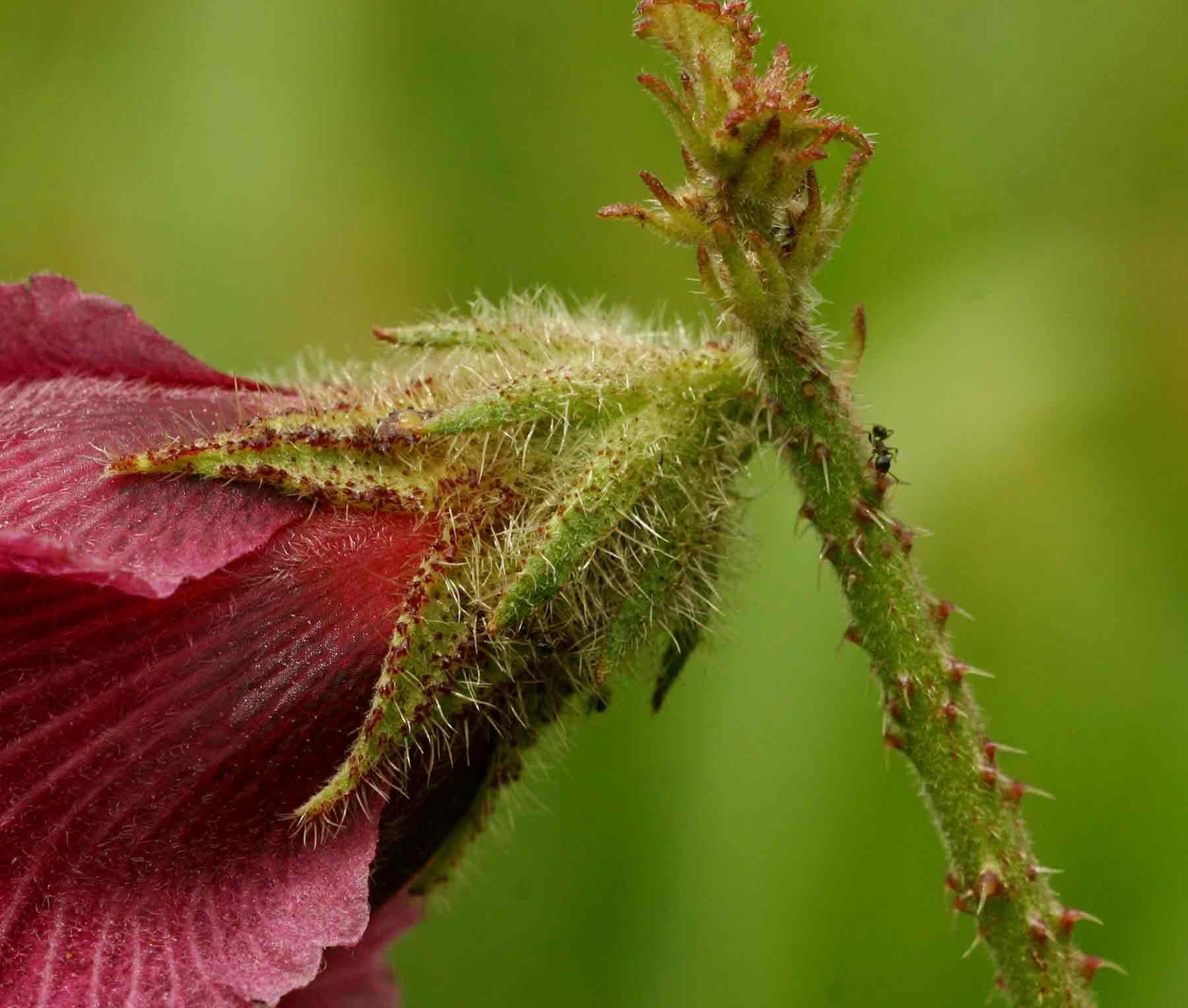 Hibiscus diversifolius subsp. rivularis