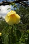 Hibiscus dongolensis