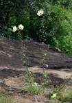 Hibiscus engleri