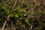 Hibiscus lobatus