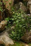 Hibiscus lunarifolius