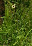 Hibiscus meeusei