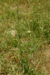 Hibiscus micranthus