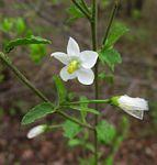 Hibiscus mutatus
