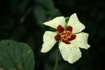 Hibiscus ovalifolius