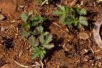 Hibiscus pusillus