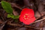 Hibiscus rhodanthus