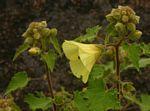 Hibiscus schinzii