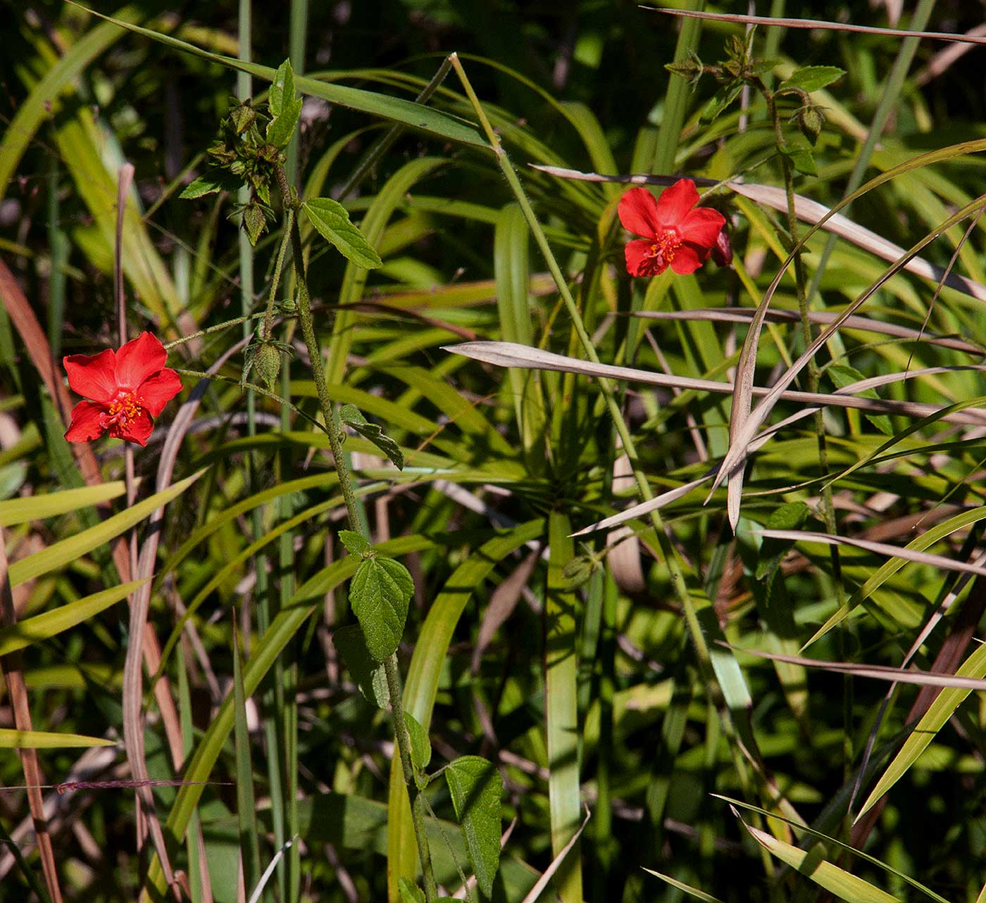 Hibiscus shirensis