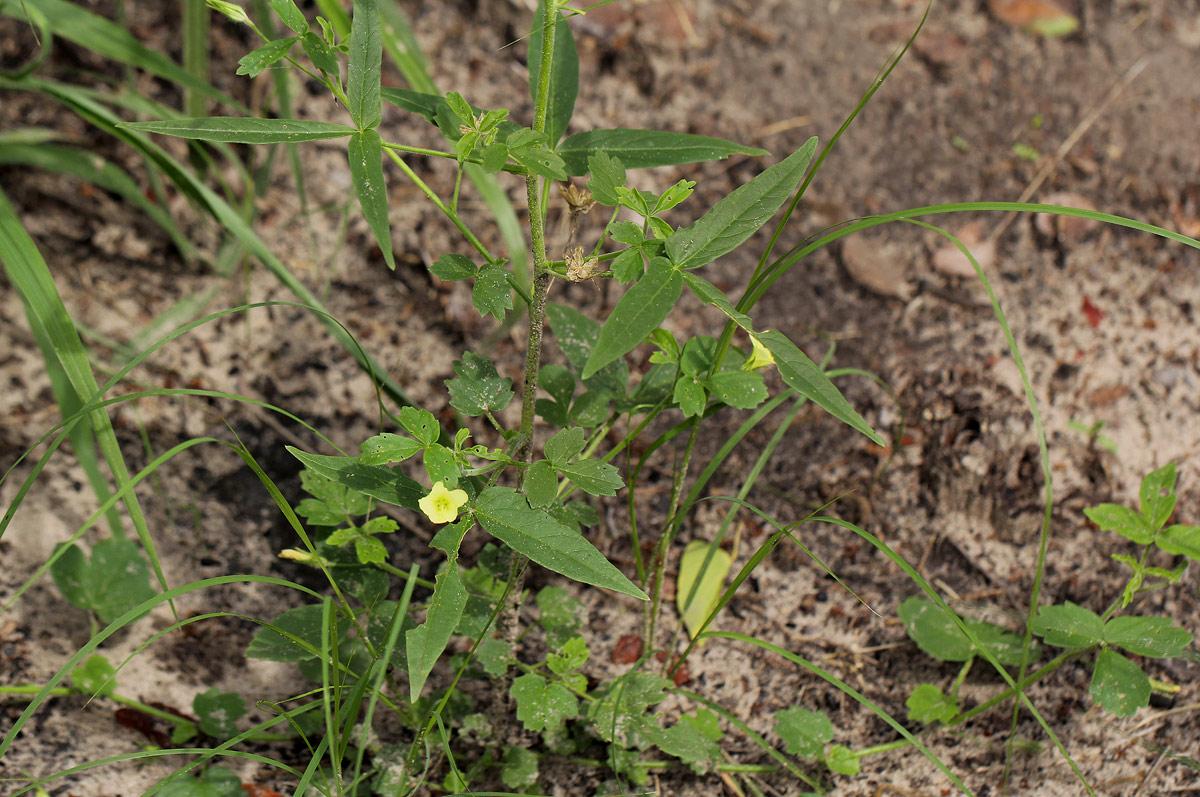 Hibiscus sidiformis