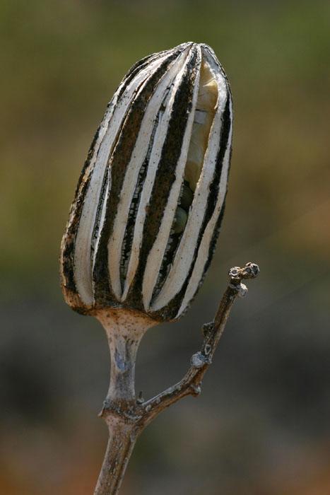 Abelmoschus esculentus