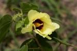 Gossypium herbaceum subsp. africanum var. africanum