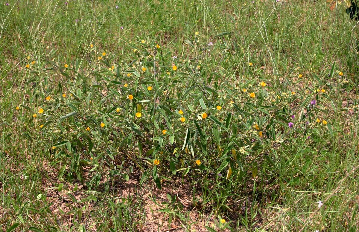 Melhania acuminata var. acuminata