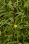 Melhania acuminata var. agnosta