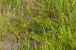 Hermannia eenii