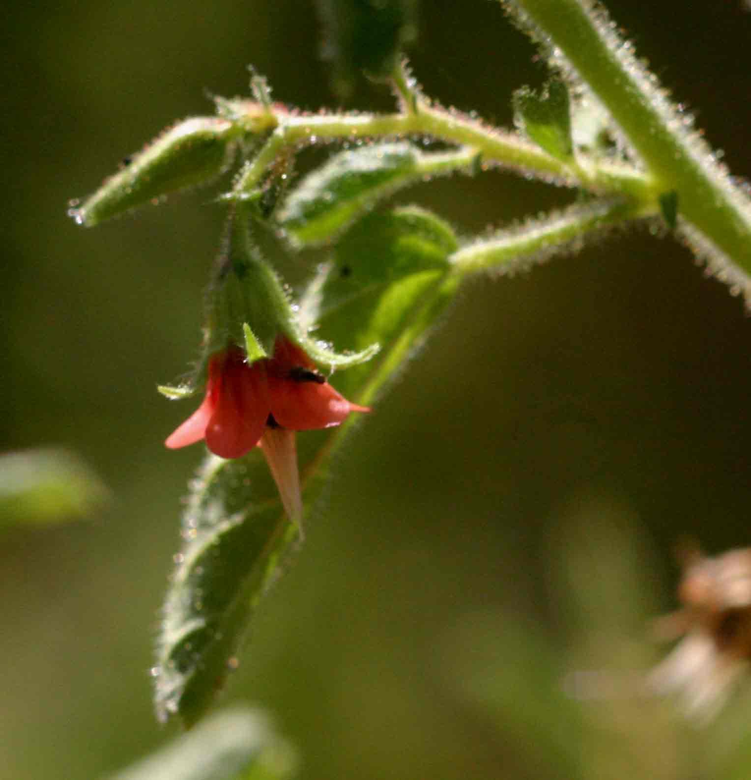 Hermannia glanduligera