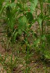 Hermannia modesta