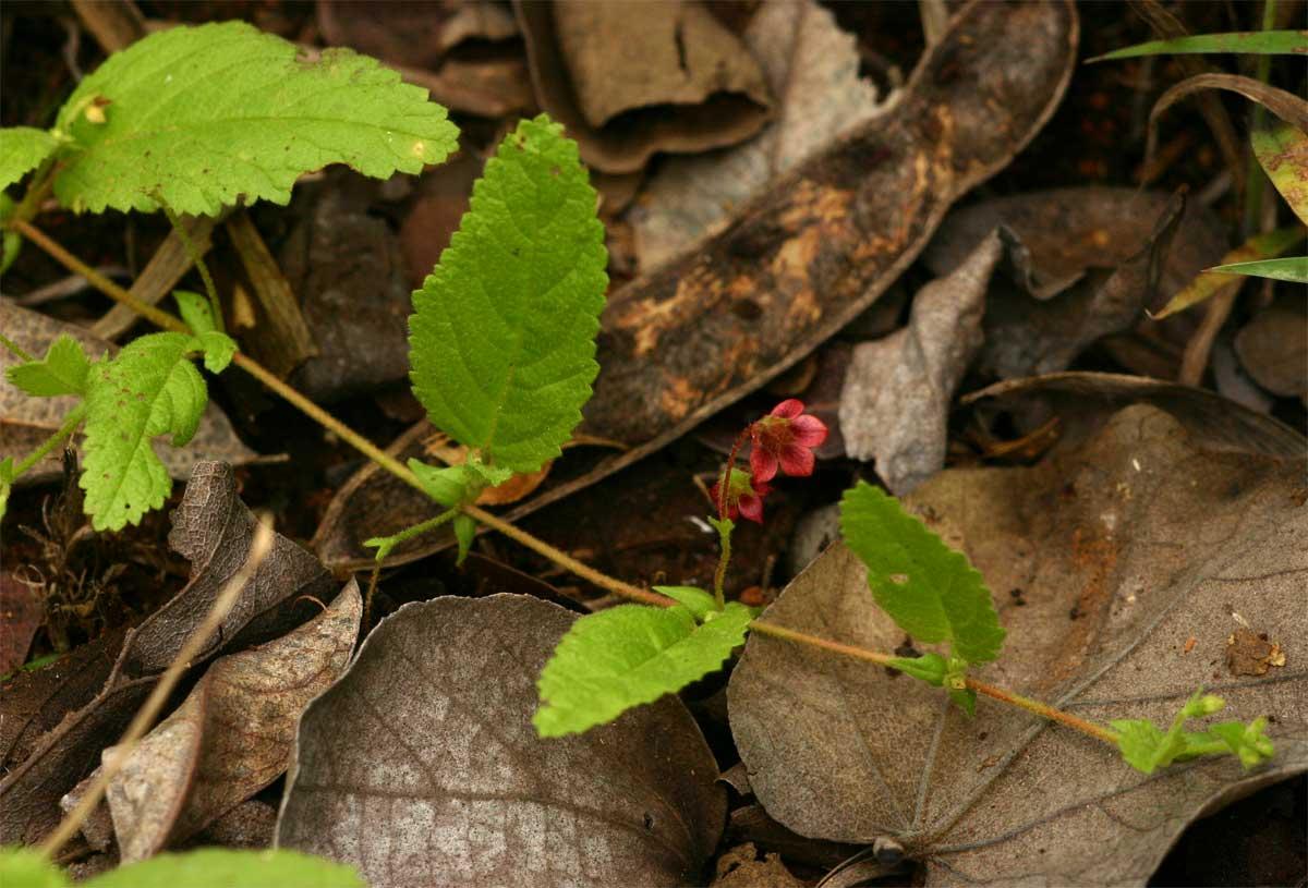 Hermannia quartiniana