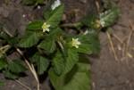 Melochia corchorifolia