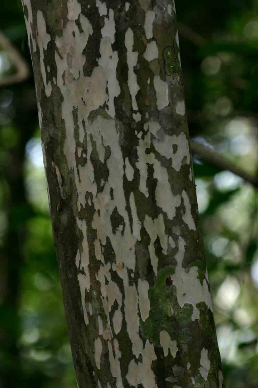 Ochna arborea var. oconnorii