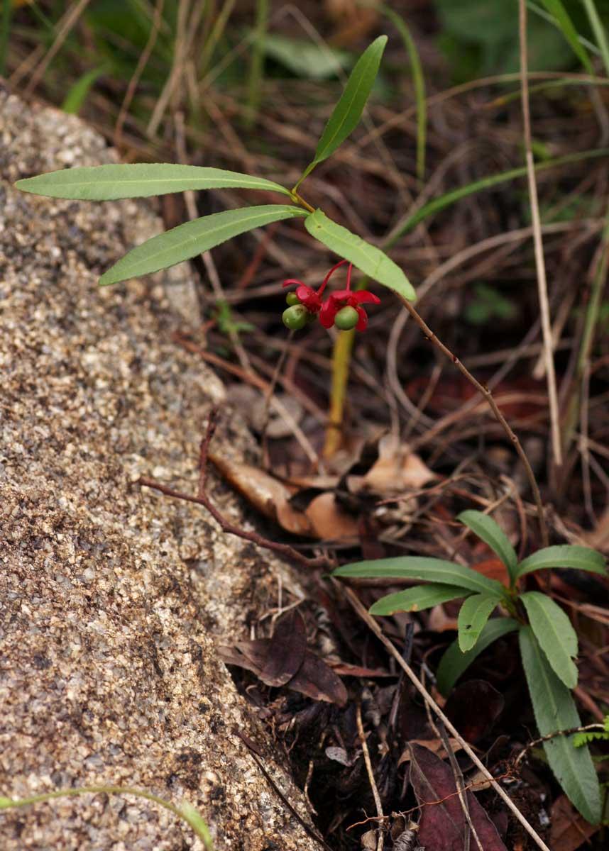 Ochna richardsiae