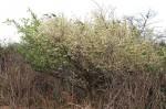 Brackenridgea zanguebarica