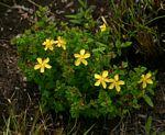 Hypericum aethiopicum subsp. sonderi